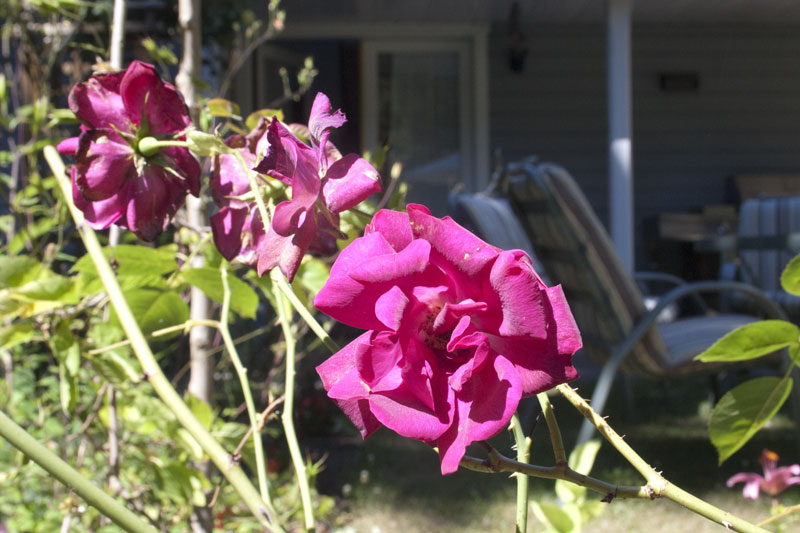 tall-patio-rose
