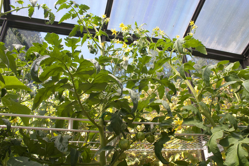 tomatoes-in-greenhouse