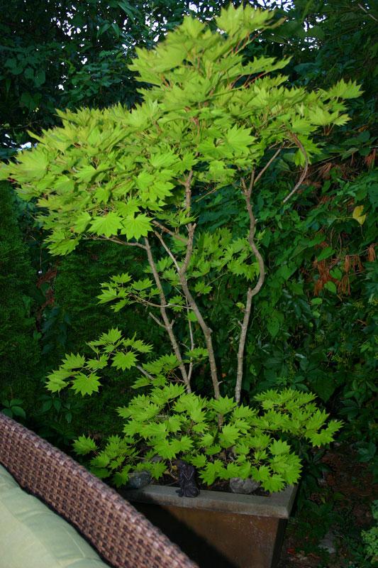 tree-on-camosun-patio2